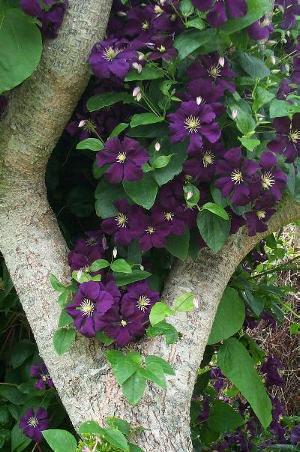 ...которое радует нас своим цветением с июля по сентябрь - это клематисы - декоративные садовые цветы для...